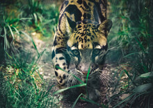 The Portrait Of Leopard Nebel Parder In A Zoo