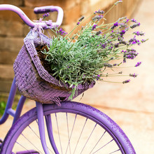Purple Bicycle With Lavender Flowers In A Basket. Photo In Retro Style. Toned Image. Selective Focus.