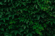 Green leaves. Green foliage. Dark green background. Nature.