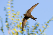 Common Swift (Apus Apus) In Flight