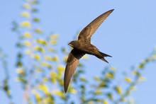 Common Swift (Apus Apus) In Flight