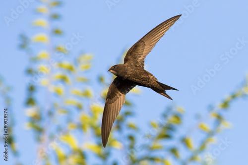 Fotografia common swift (Apus apus) in flight