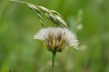 Salsify Seed Head In Springtime