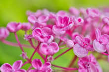 Colorful Pink Flowers Background