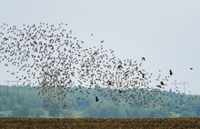 Numerous Migratory Birds Of Black Starlings Spreading Their Wings Rapidly Fly Up From The Field Against The Sky And Trees In The Village