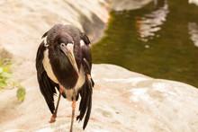 Abdim Stork - Ciconia Adimii (...