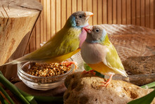 Two Gouldian Finches With A Bowl Of Grain Mixtures, A Bath Of Water,  A Small Stump And Stone. On A Bamboo Background.