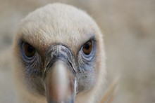 A Picture Of A Griffon Vulture In Bio Parc Zoo In Doué La Fontaine, France