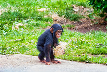 Chimpanzee Out Walking In The ...