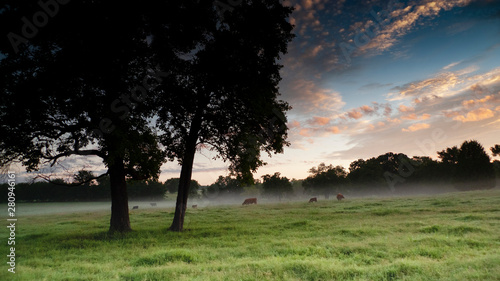 Cattle grazing in a green pasture at dawn