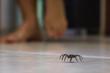 Poisonous spider indoors, dangerous venomous animal. Aracanophobia concept, care to avoid spiders