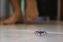 Poisonous Spider Indoors, Dang...