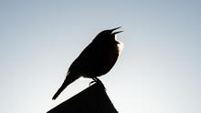 A Little Bird Singing