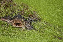 Side View Of Alligato Camoufla...