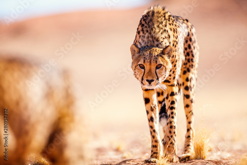 Photo Close up of cheetah