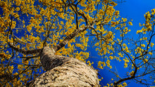 Yellow Ipe Tree In The Nature Of The Amazon