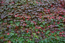 Wall Covered In Ivy With Color...