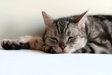 Adult Male Silver Tabby American Shorthair Cat About Fall Asleep Or Relaxing On The Cat Bed