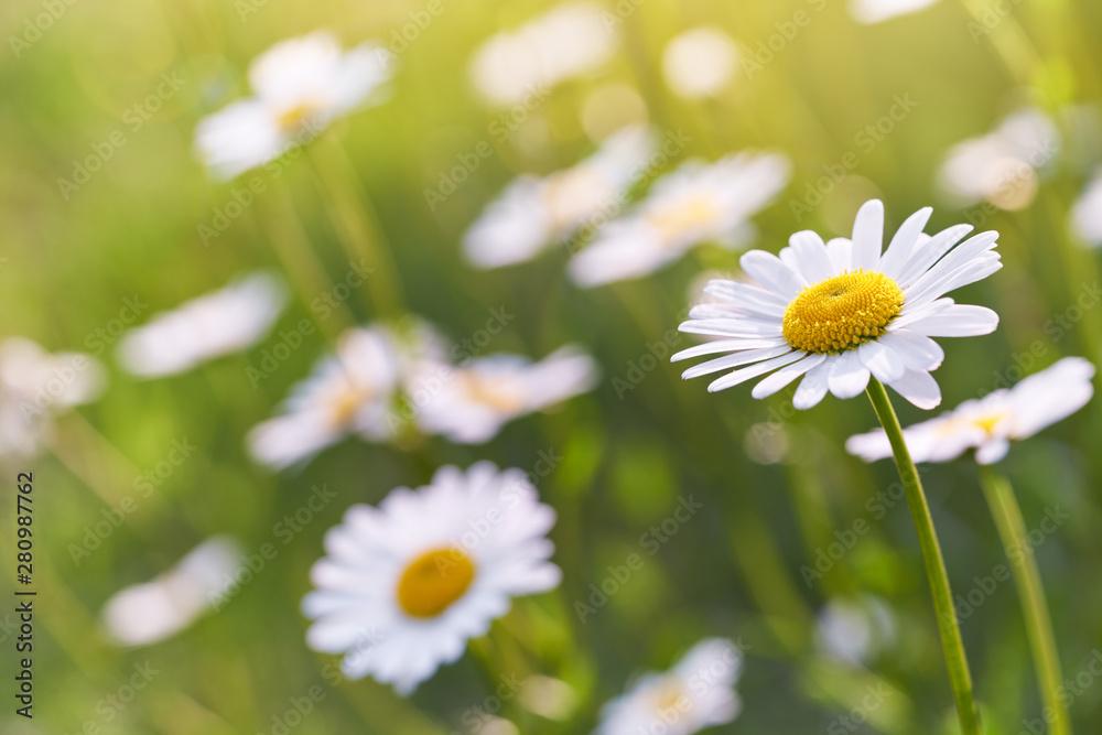 Fototapeta Wild daisy flowers growing on meadow. Warm sunny defocused natural background.