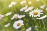Wild daisy flowers growing on meadow. Warm sunny defocused natural background.