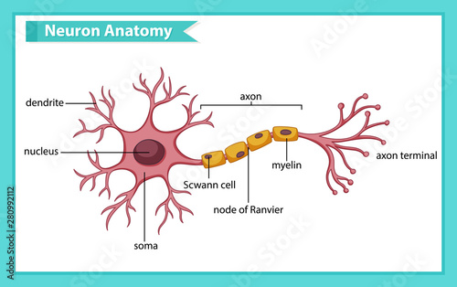 Poster Kids Scientific medical illustration of anatomy of nerve cell