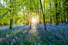 Bluebells Cover A Woodland Flo...