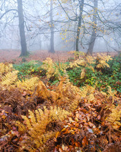 Heavy Fog, Beeches With Bracke...
