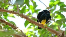 A Yellow-Faced Myna Is Sitting...