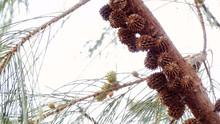 Closeup Of New Born Pine Cones...