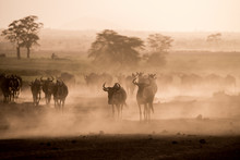 Wildebeests And Zebras On The Move At Dusk Across The Dusty Landscape Of Amboseli National Park, Kenya