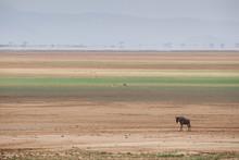 Wildebeest On The Stripes Of A Salt Flat In Amboseli National Park, Kenya