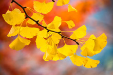 Yellow Leaves Of A Gingko Tree...