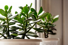 Succulent Houseplant Crassula On The Windowsill Against The Background Of A Window