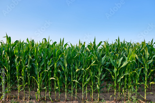 Closeup of a green cornfield with maize in Germany in July Fotobehang