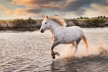 White Horses Are Runing In The Water  All Over The Sea In Camargue, France.