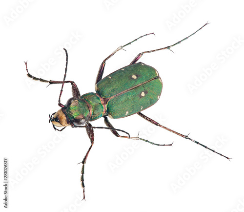 Photo sur Toile Nature forest green tiger beetle top view on white
