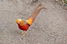 A Golden Pheasant Walking On A Path
