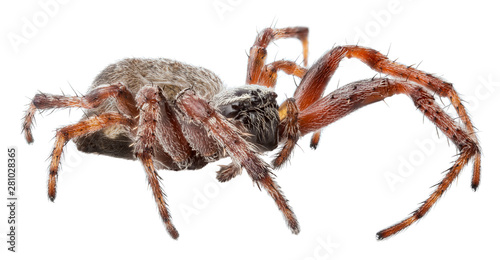 dark orb-weaver spider isolated on white Fototapeta