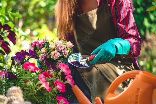 Fototapeta Gardener in gloves plants and growths flowers on the flower bed in home garden. Gardening and floriculture. Flower care obraz