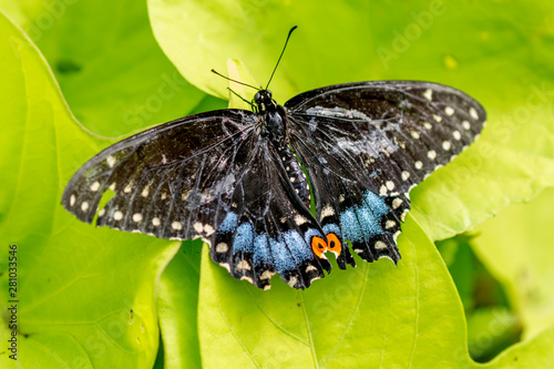 black swallowtail butterfly on a green leaf