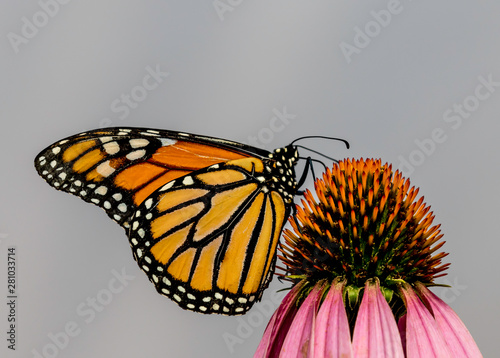 monarch butterfly on an echinacea or cone flower