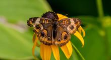 Common Buckeye Butterfly On A ...