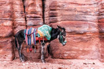 Beduinski magarac sa sedlom