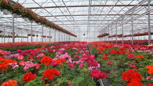 Large Glass Greenhouse With Flowers. Growing Flowers In Greenhouses. Interior Of A Modern Flower Greenhouse. Flowers In Flowerpots.