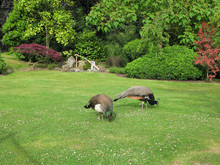 Scenery With  Two Indian  Peacocks , Walking  On The Lawn In The Kyoto Garden  In The Public  Park Holland Park In London, United Kingdom.