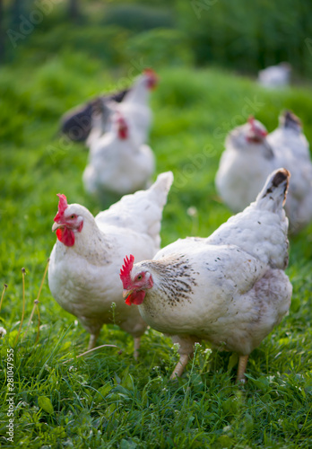 Canvas Print Chickens. Free Range Cock and Hens
