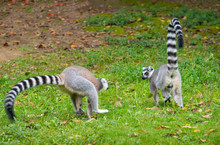 The Clever Ring-tailed Lemur In A Wildlife Park