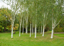 Silver Birch Trees In The Coun...