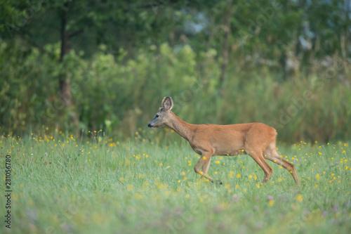 Poster Deer Roebuck - buck (Capreolus capreolus) Roe deer - goat