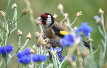 Distelfink In Schmetterling Blumenwiese